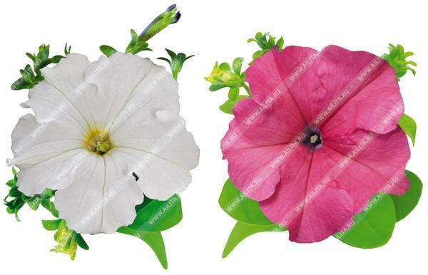 Комплиментуния крупноцветковая Белая F1 и Розовая F1