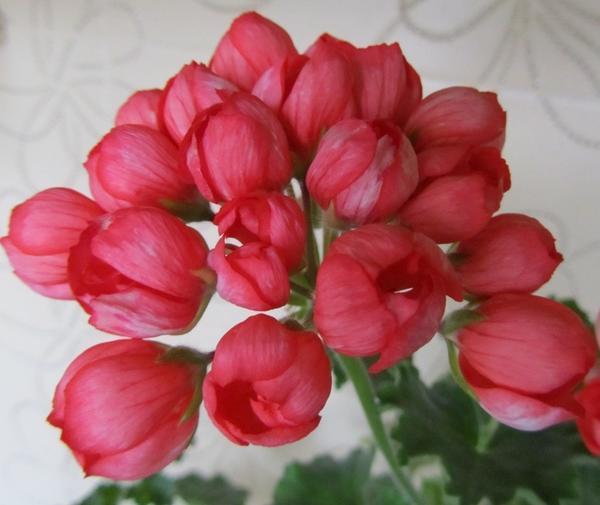 Пеларгония плющелистная Red Pandora. Фото с сайта fuchsia-pelargonium.narod.ru