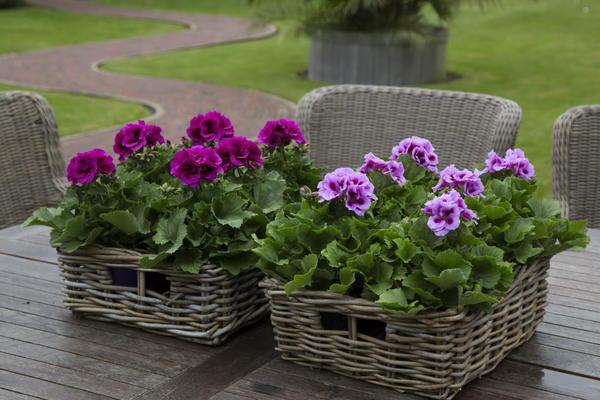 Пеларгонии очень разнообразны по окраске цветков и высоте кустиков. Фото с сайта pelargoniumgrandiflorum.com