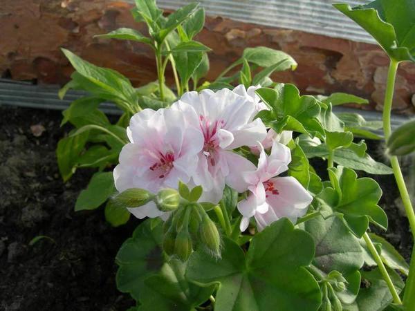 Пеларгония зональная Bravo Pastel. Фото с сайта dom-florista.ru