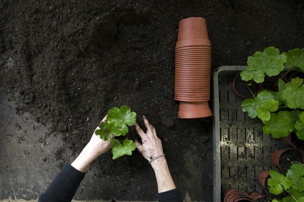 Пеларгония может расти и в саду, но зимовать ей лучше дома