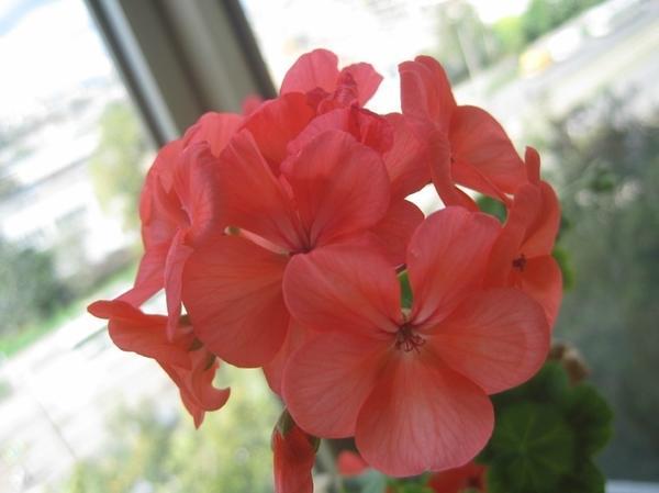 Пеларгония плющелистная из серии Pygmy с лососевыми цветками