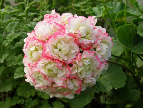 Пеларгония плющелистная Apple Blossom Rosebud. Фото с сайта pelargosha.ru