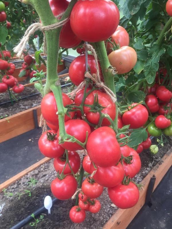 При правильной агротехнике ваши тепличные плоды будут вкусными, полезными и красивыми. Томат Фамилия F1