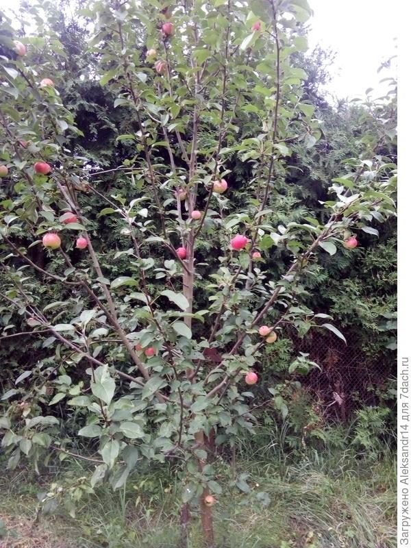 Яблоки прорежены дерево как вчера посажено продавцы называли КОЛОНОВИДНОЙ