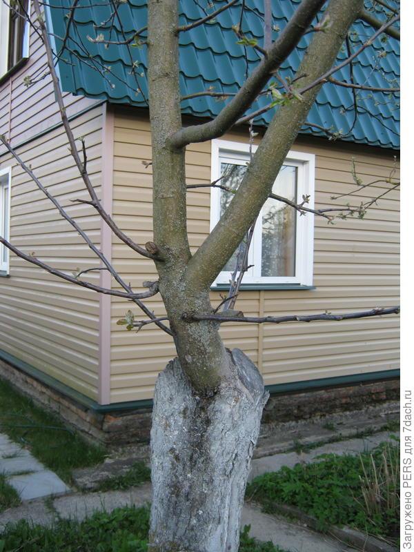 В этом году будет первый урожай возрождёного дерева