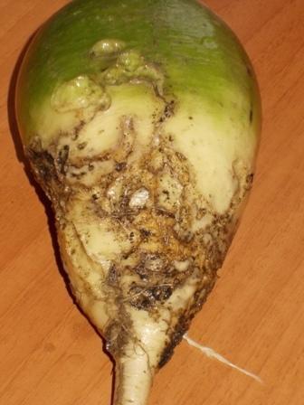 повреждённый корнеплод маргеланской редьки