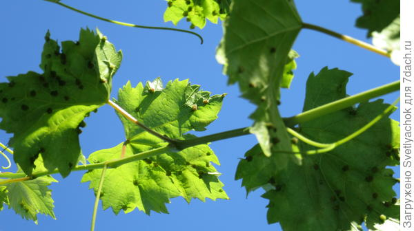 Помогите с лечением винограда