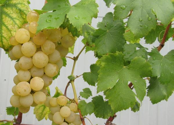 Какой это сорт винограда на фото?
