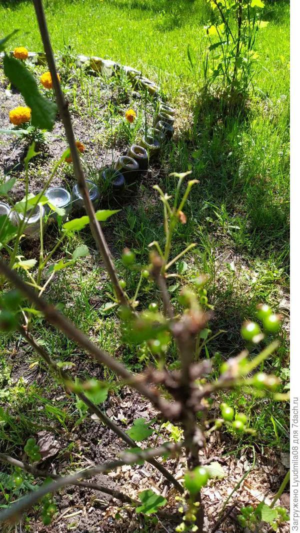 Куст смородины с уничтоженными листьями.