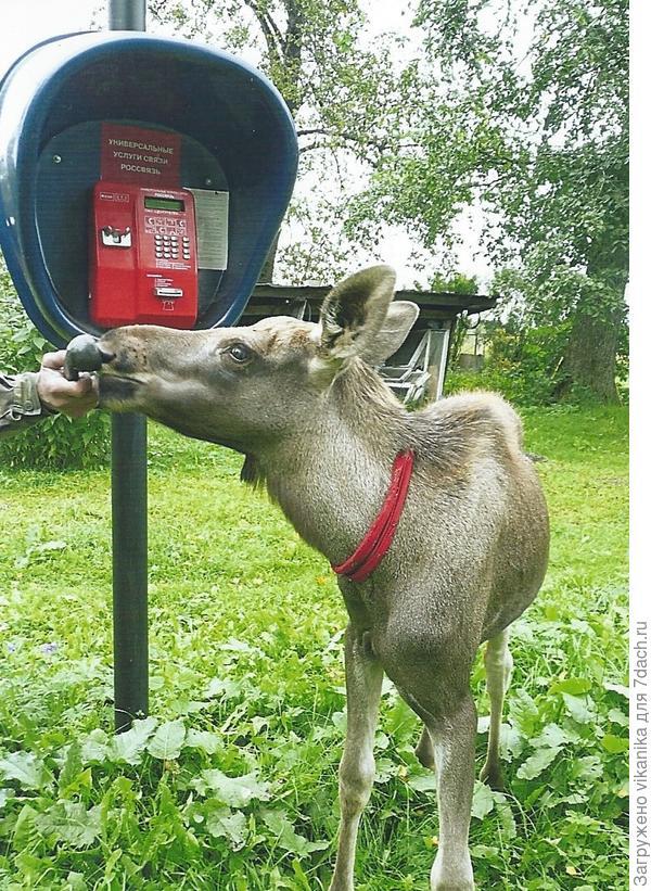 лось и телефон