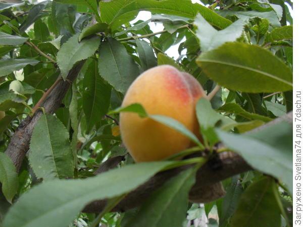 Персик растет