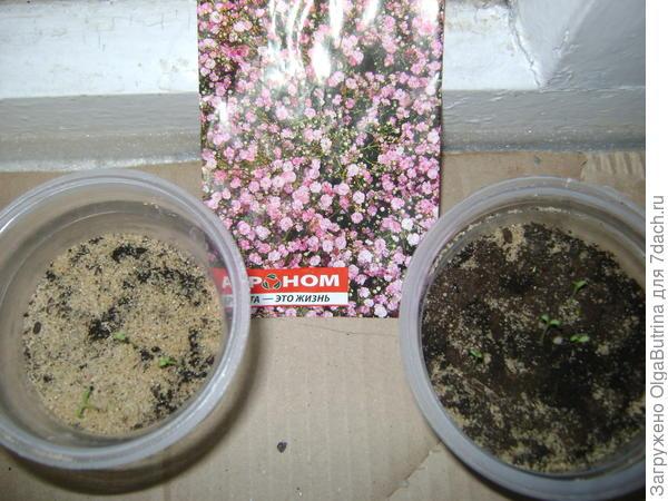 Вот такие малыши после прорастания на 3-4 день. Светлое в плошках - речной песок, он совсем не обязателен.