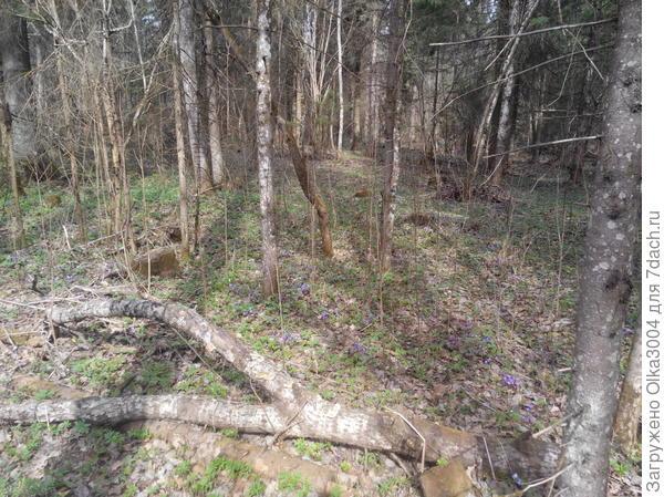 лес в ролесках