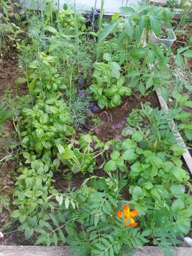 в теплице рядом с помидорами и другими травками