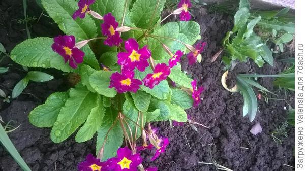Это обычная примула, люблю ее за пышность цветения и яркость