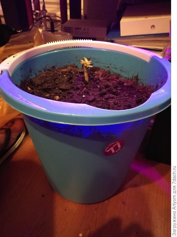А это картошка!))) Проросла в овощном ящике, вот и решил её в ведро посадить, не знаю что из этого получится)))) Там 4 картофелены на разных уровнях, проросла пока только одна.