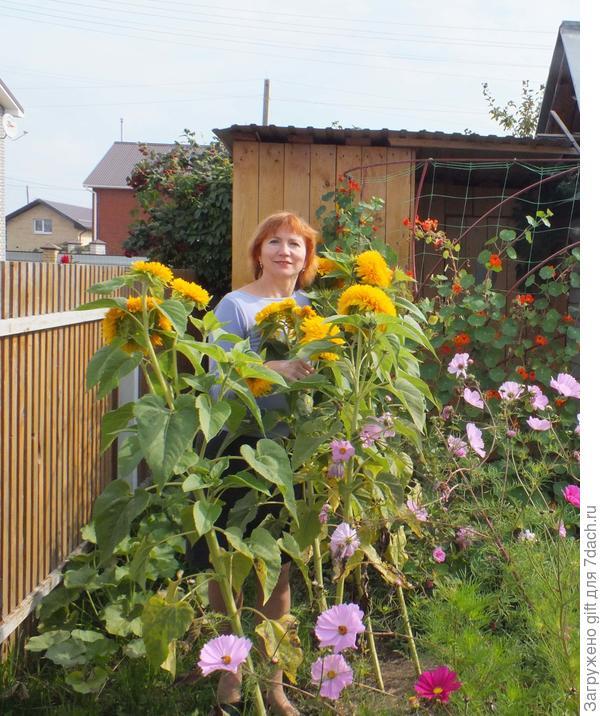 Посадить подсолнухи на даче