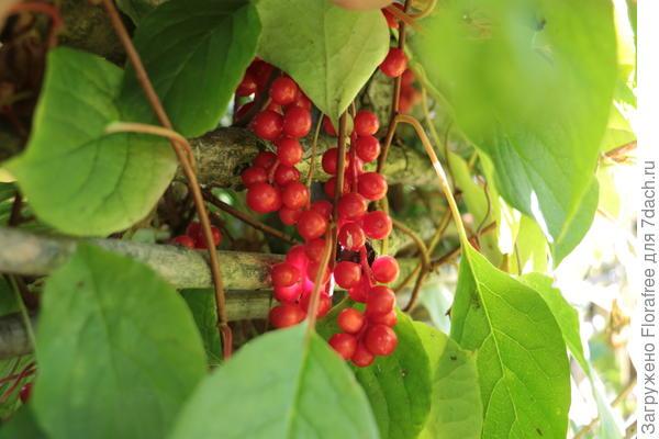 растение с гроздями красных ягод