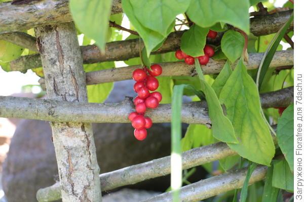 лиана с ягодами
