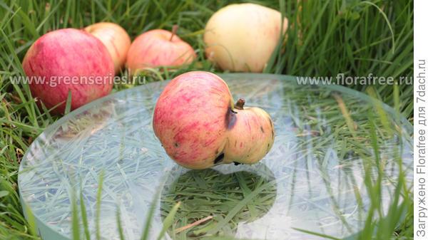 двухогрызковое яблоко