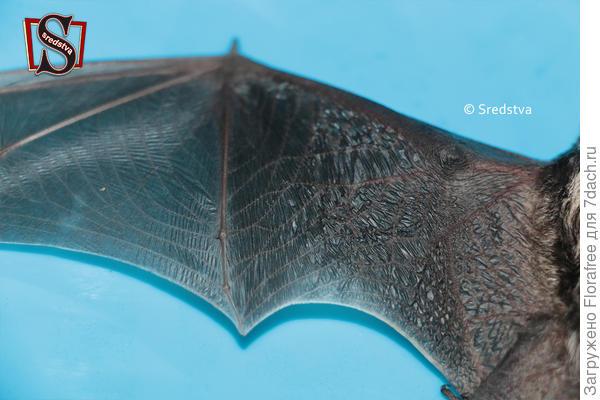 Летучая мышь крыло тонюсенькая, даже прозрачная пленочка на крыльях - а ведь это живая кожа