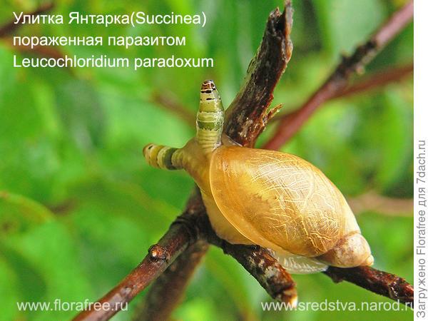 литка Янтарка Succinea пораженная паразитом Leucochloridium paradoxum