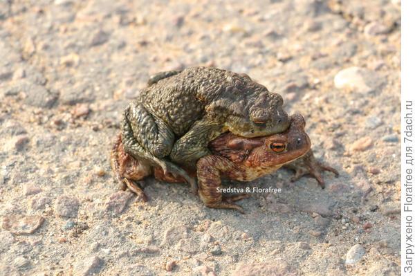 2 жабы в период спаривания