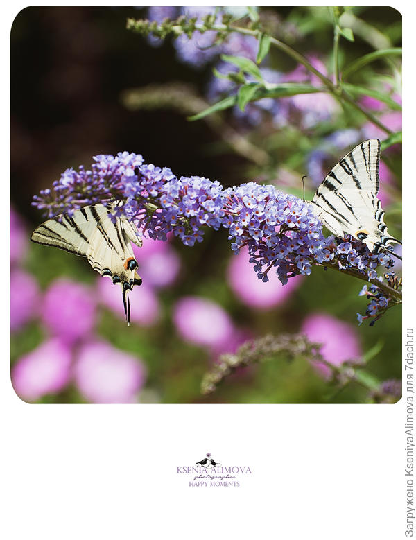 Будлея и бабочки