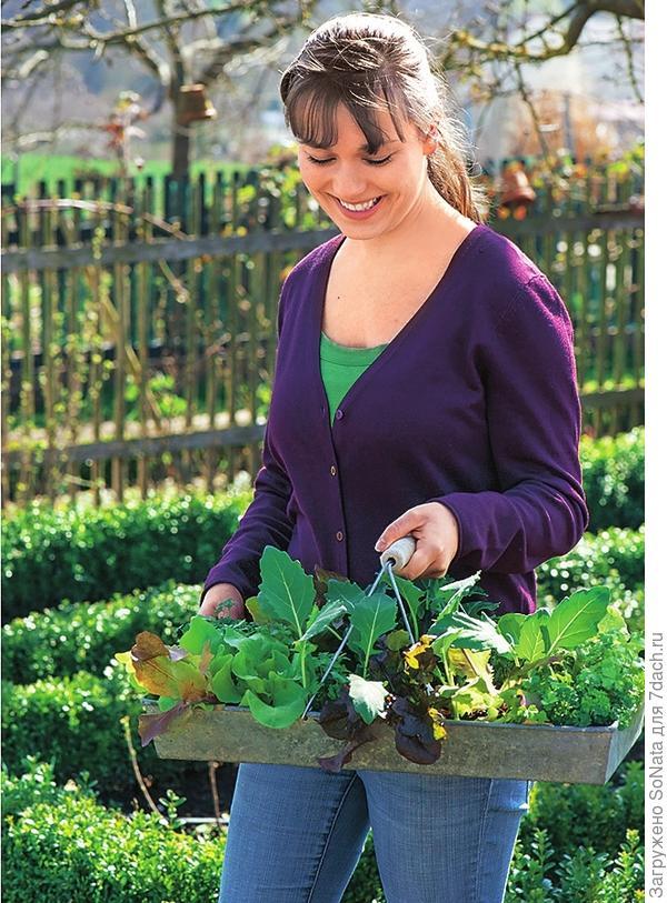 Черешковый сельдерей и кервель способствуют росту и развитию рассады кольраби и кочанной капусты.