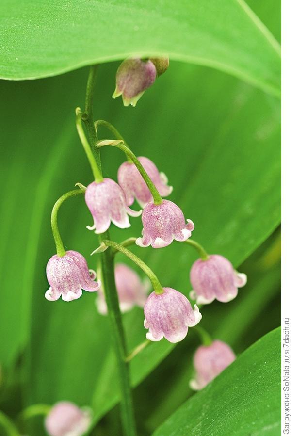 Ландыши с нежно-розовыми цветками и зелеными листьями