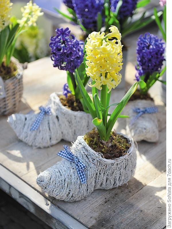 Гиацинты, обутые в симпатичные башмаки, стильный и оригинальный цветочный декор для террасы или патио.