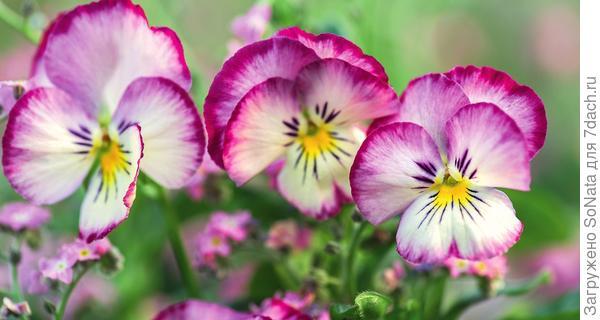 Эмблема оживающей весны, символ скромности и вечной верности, цветок Юпитера - поклонники фиалки не скупятся на лестные эпитеты.
