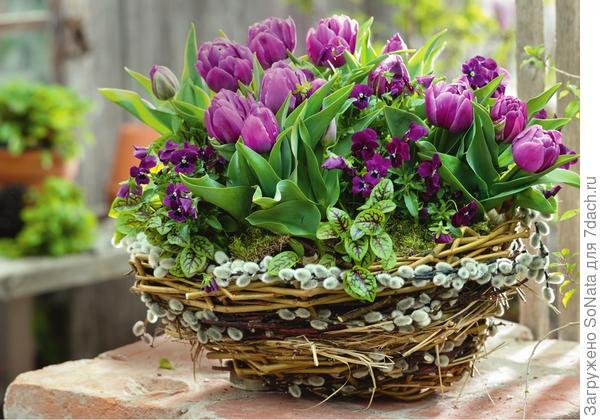 Между крупными тюльпанами тон в тон вписалась пурпурная фиалка рогатая.