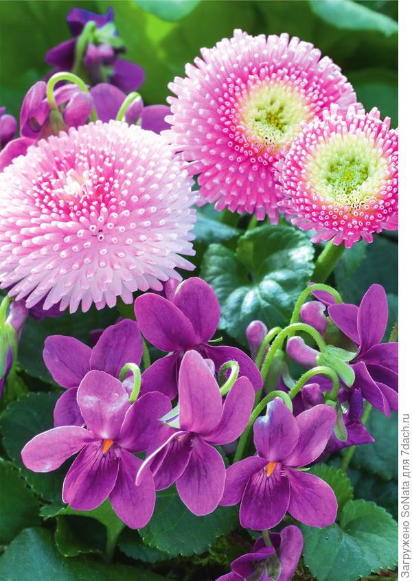 Розовые маргаритки и фиалка душистая Miracle Intense Blue органично смотрятся вместе.