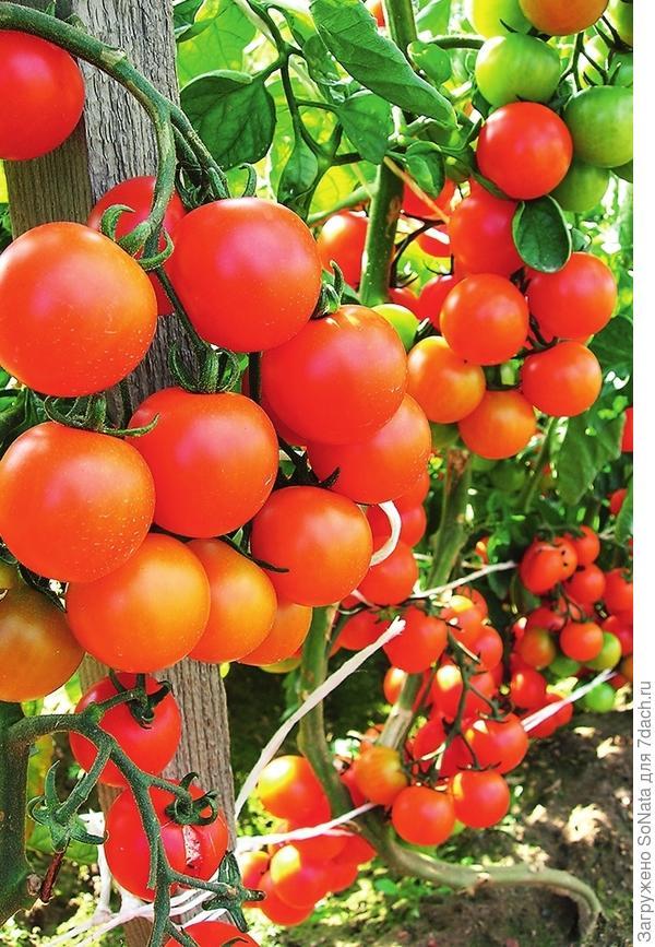 Для климатических условий средней полосы возраст рассады томатов, перца, баклажанов должен быть примерно 60-70 дней.