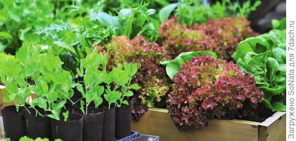 Различные виды салата можно высевать прямо в грядку, а в прохладную погоду на ночь закрывать посевы лутраси-лом до появления всходов.