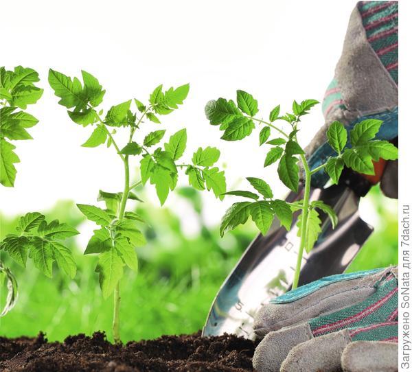 Высаживая рассаду овощей или цветов на постоянное место, нужно в первую очередь учитывать конкретные требования каждой культуры.