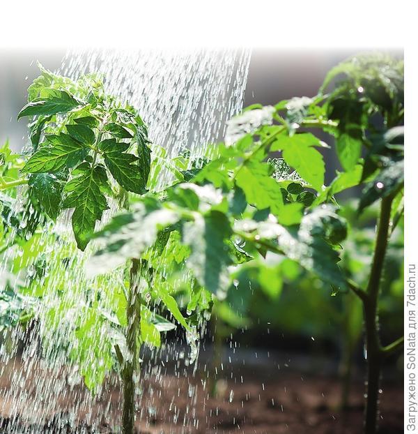 Поливают рассаду в зависимости от погоды и потребностей растения, земля в контейнерах должна быть умеренно влажной, но не сырой, иначе растения могут загнить.