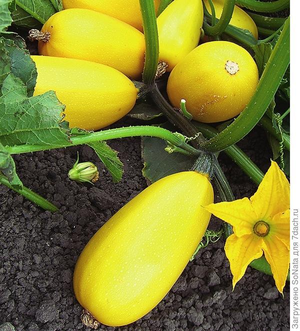 Идеальная рассада тыквенных культур (огурцы, патиссоны, кабачки, тыквы) имеет 2-3 настоящих листочка (помимо пары семядольных).