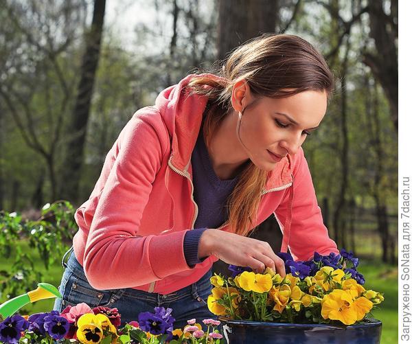 Двулетники для ускорения цветения высаживают в садовые клумбы уже в виде готовой рассады.