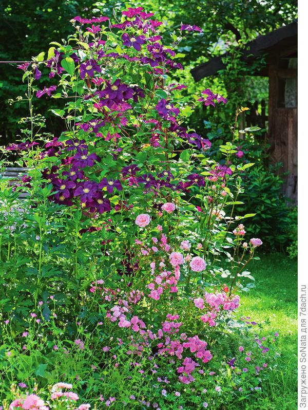 К цветущему клематису фиолетовому (Clematis viticella) Etoile Violette прильнула нежная роза.