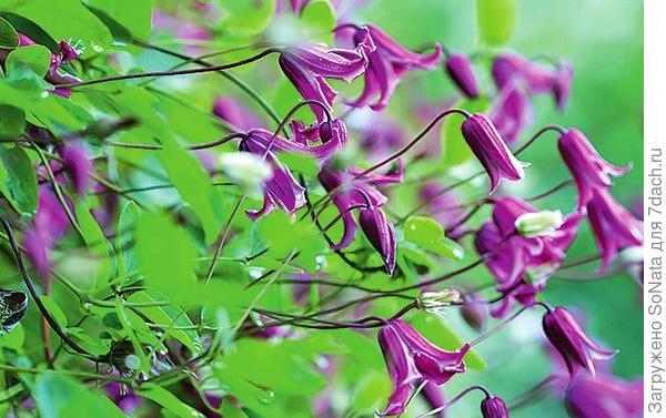 Клематис тексенский (C. texensis) Etoile Rose