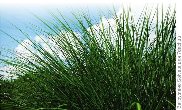 Накормленный газон радует глаз густотой и сочным цветом.