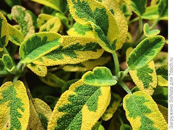 Шалфей лекарственный Salvia officinalis