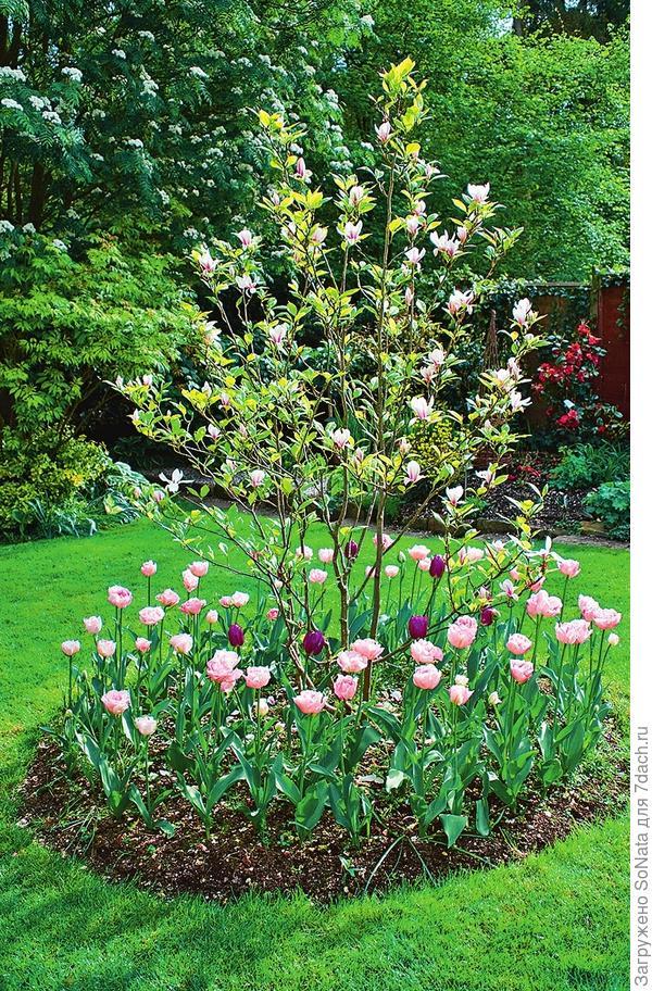 Тюльпаны с розовыми и пурпурными цветками водят хоровод вокруг магнолии. Поскольку у этого декоративного деревца очень нежные корни, сажать луковичные следует на почтительном расстоянии от ствола.