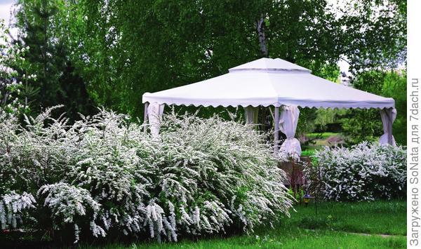Спирея серая 'Грефшейм' поможет '' создать в саду эффектные кулисы.