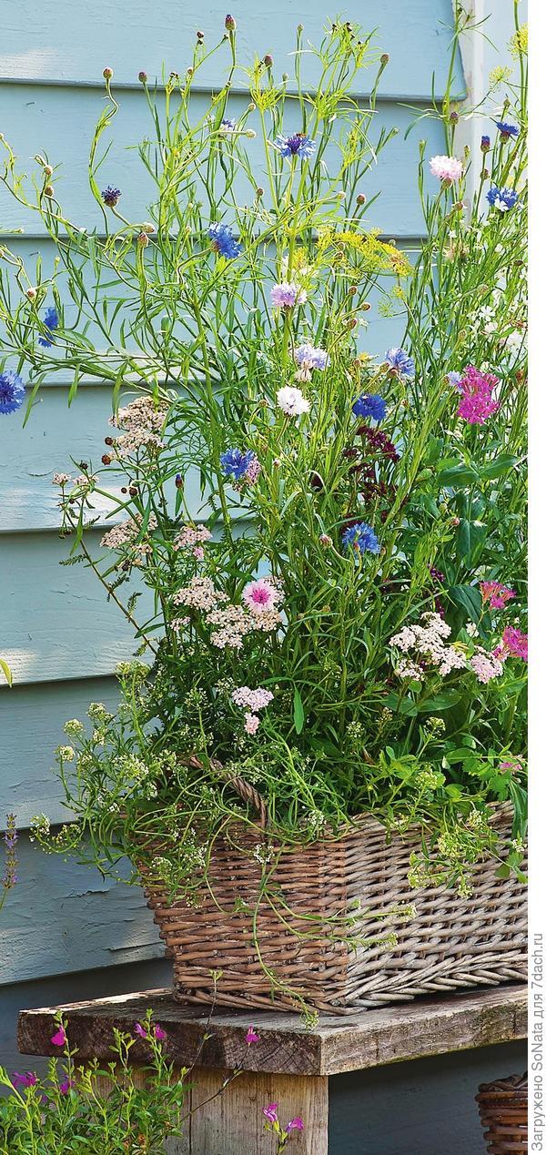Накроем поляну...пестрым ковром из однолетних цветов