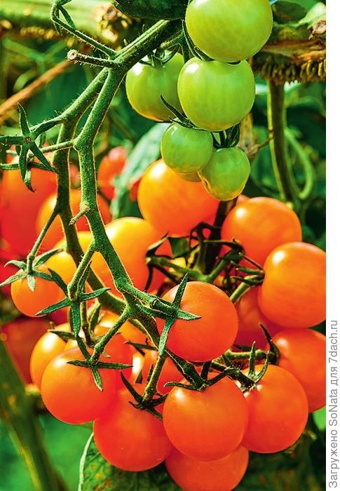 Кустовые томаты, например 'Pendulina Orange' и 'Ida Gold', идеально подходят для выращивания в ящиках и подвесных кашпо.