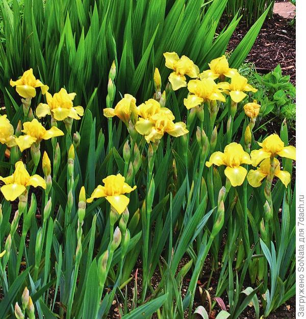 Цветы радуги высаживайте небольшими куртинками: в таком виде даже представители скромных низкорослых сортов будут выглядеть более эффектно.